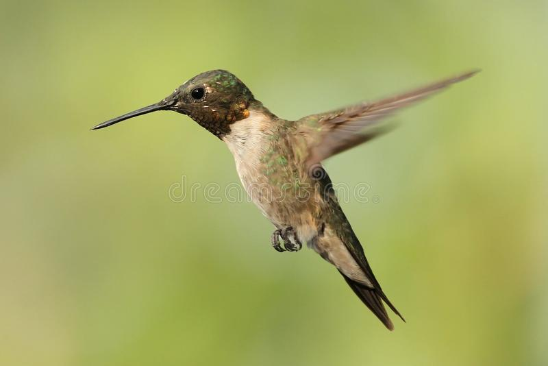Hovering Hummingbird 1. A Ruby Throated Hummingbird hovering near it's feeder in Missouri royalty free stock photography