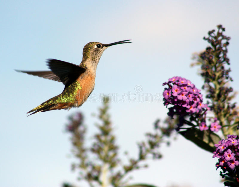 Download Hovering hummingbird stock photo. Image of tailed, broad - 16171864