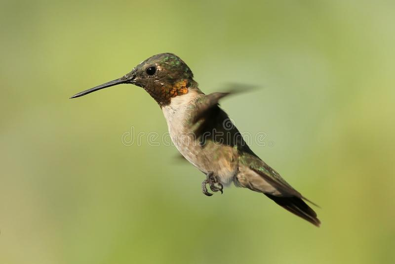 Hovering Hummingbird 2. A Ruby Throated Hummingbird hovering near its feeder in Missouri stock images