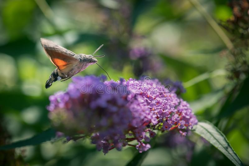 Hummingbird hawk-moth royalty free stock image