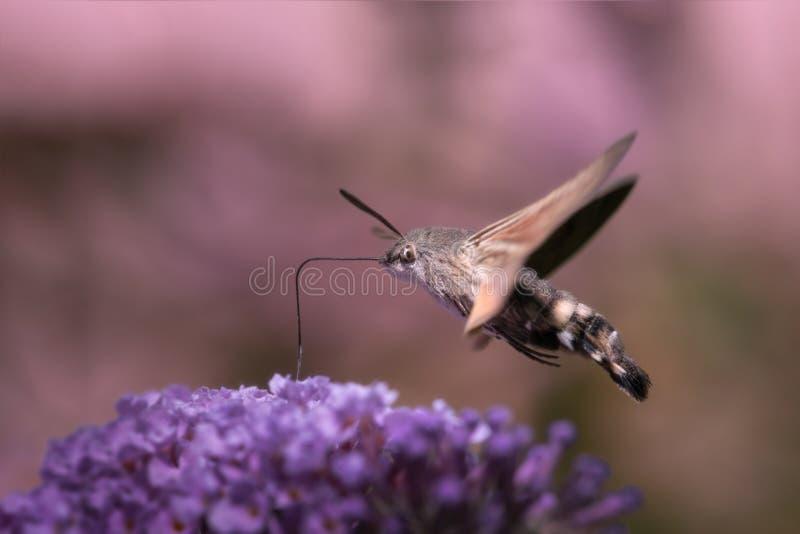 Hummingbird hawk-moth royalty free stock photo