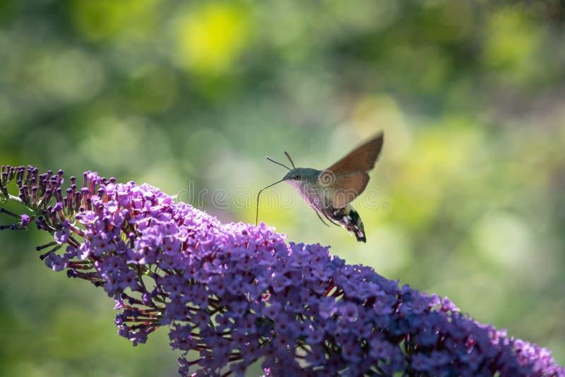 Hummingbird hawk-moth stock photography