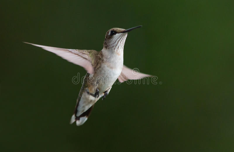 Hovering Hummingbird. A ruby-throated hummingbird hovering against a blurred background stock photography