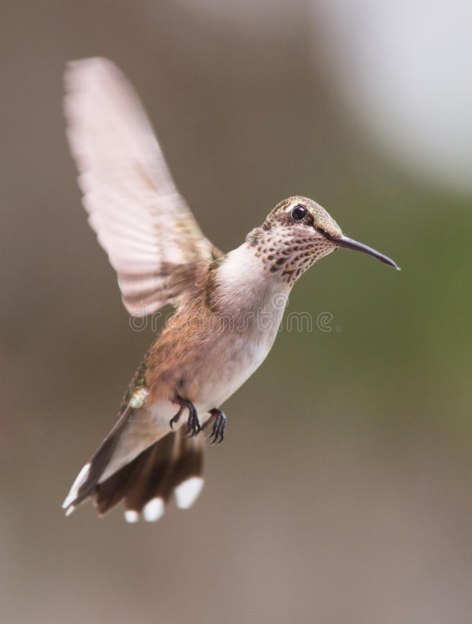 Hovering Hummingbird. A ruby-throated hummingbird hovering against a blurred background royalty free stock images