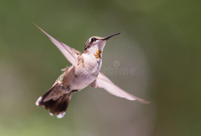 Hovering Hummingbird. A ruby-throated hummingbird hovering against a blurred background stock images