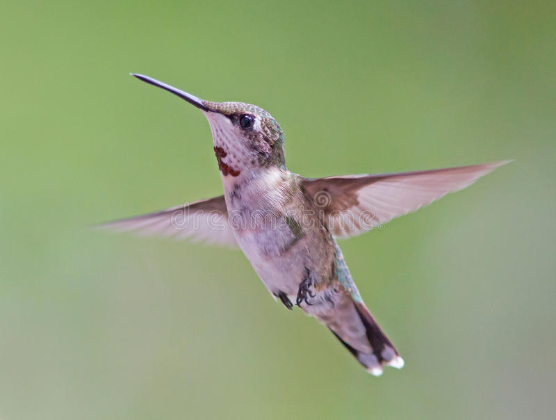 Hovering Hummingbird. A ruby-throated hummingbird hovering against a blurred background stock photos