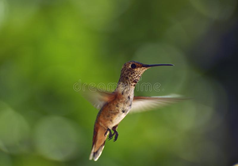 Hovering Hummingbird. Rufous Hummingbird hovering against a green background stock images
