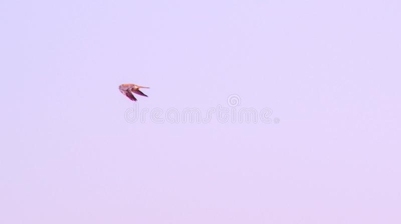 Hovering 2. Kestrel hovering in the air watching for his catch royalty free stock image