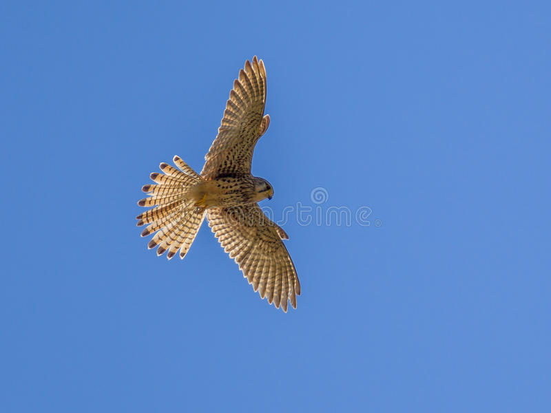 Hovering Kestrel. (Falco tinnunculus) looking for prey stock photos