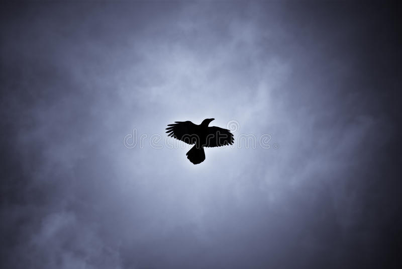 Hovering raven in Icelandic snowstorm. Raven hovering over its pray in a snowstorm royalty free stock photography