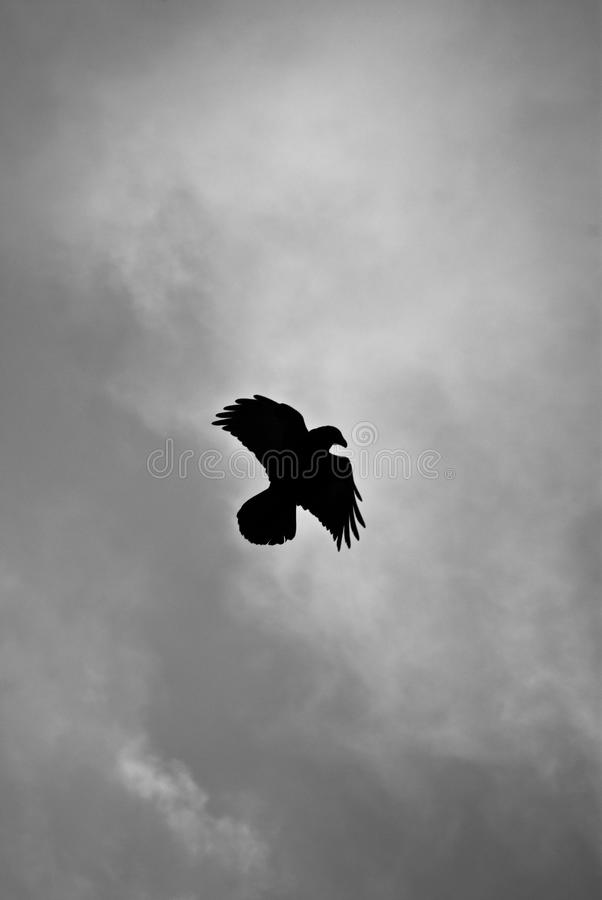 Hovering raven in Icelandic snowstorm. Raven hovering over its pray in a snowstorm stock photos