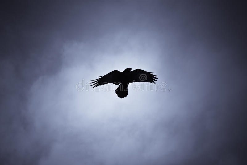 Hovering raven in Icelandic snowstorm. Raven hovering over its pray in a snowstorm stock images