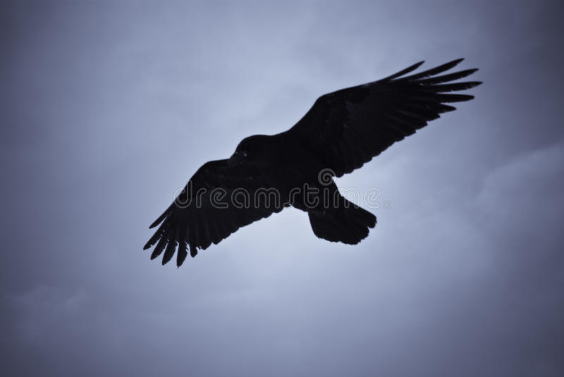 Hovering raven in Icelandic snowstorm. Raven hovering over its pray in a snowstorm royalty free stock images