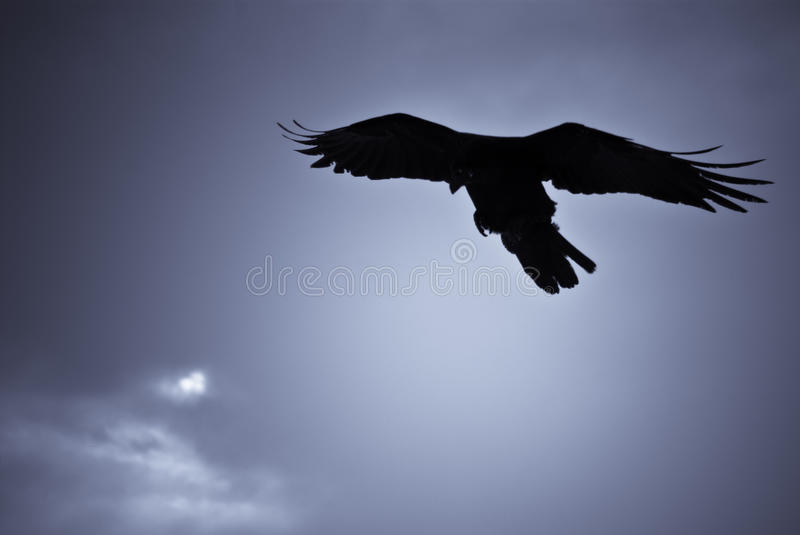 Hovering raven in Icelandic snowstorm. Raven hovering over its pray in a snowstorm royalty free stock image