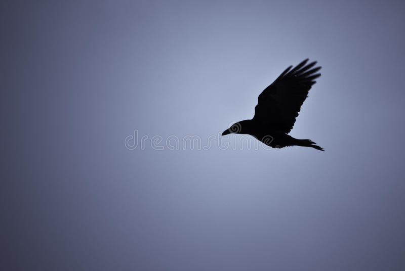Hovering raven in Icelandic snowstorm. Raven hovering over its pray in a snowstorm royalty free stock photo