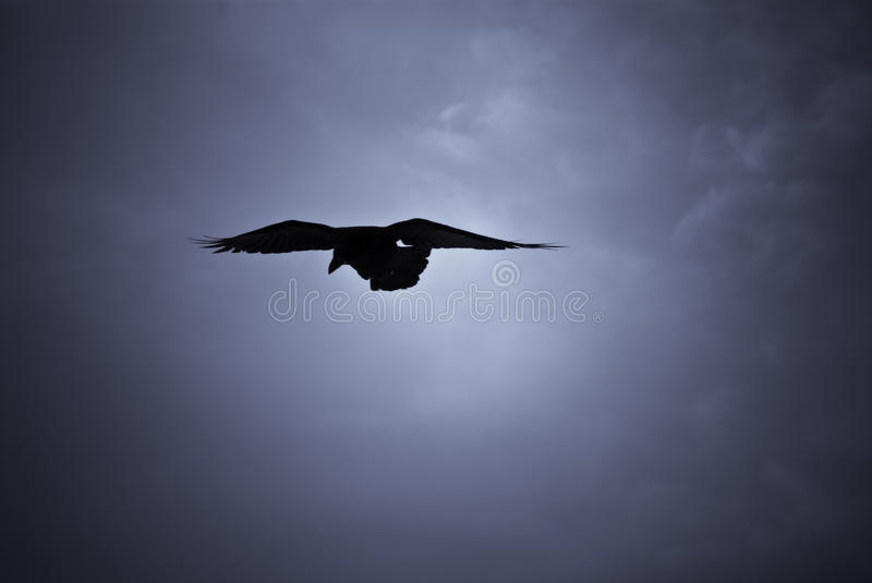 Hovering raven in Icelandic snowstorm. Raven hovering over its pray in a snowstorm stock photography