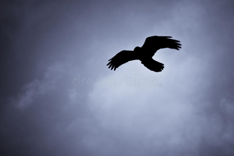 Hovering raven in Icelandic snowstorm. Raven hovering over its pray in a snowstorm royalty free stock photos