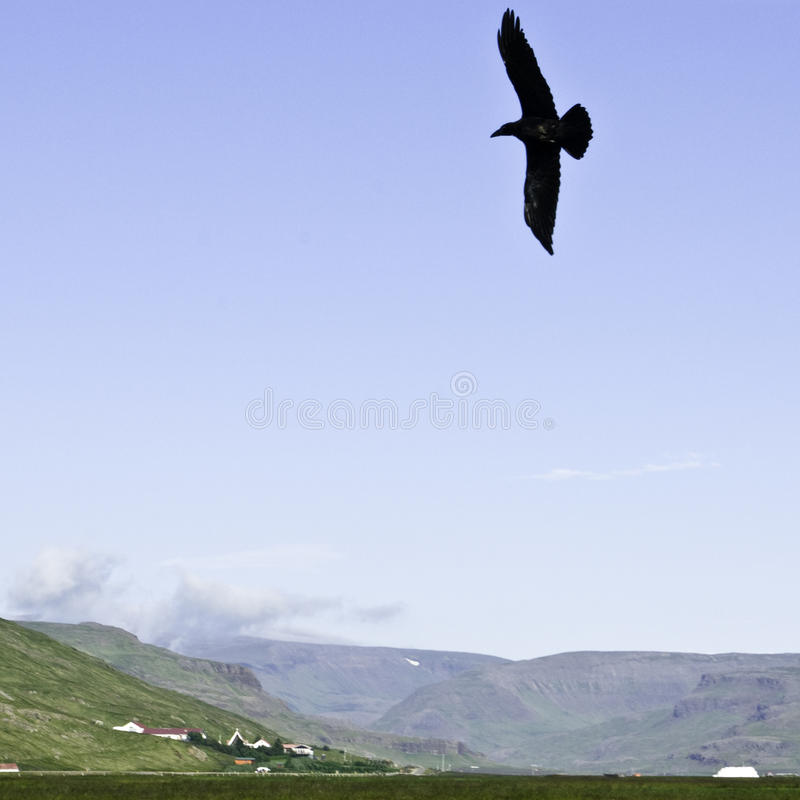Hovering raven in an Icelandic valley. Raven hovering over its pray in an Icelandic sunny summer day royalty free stock photography