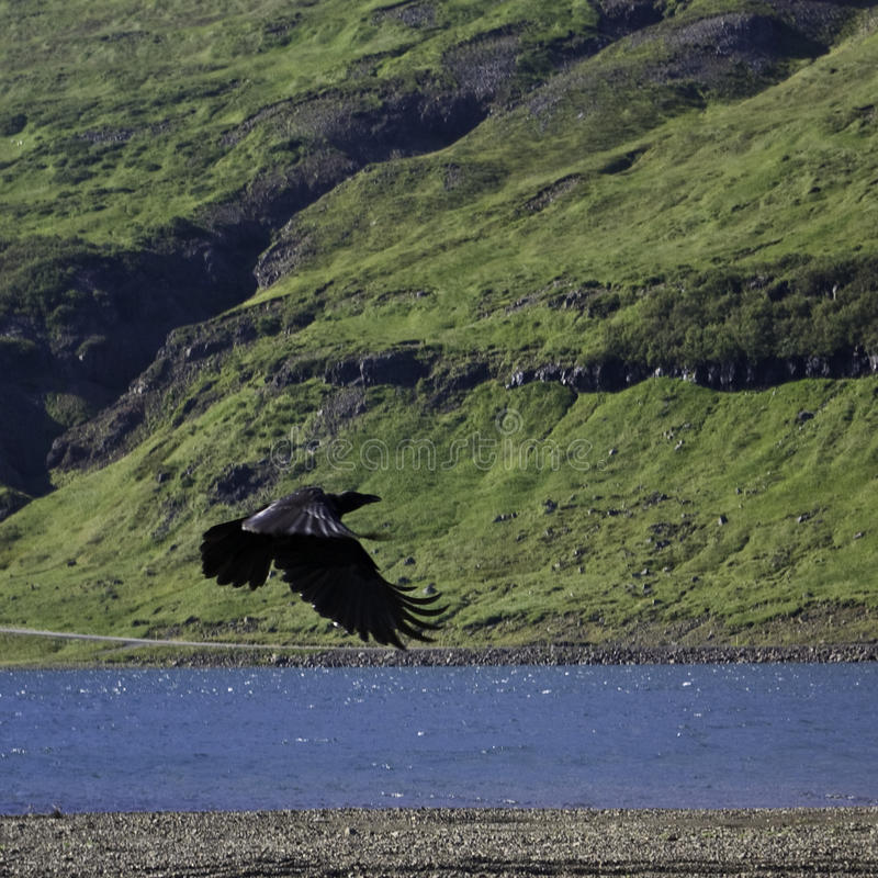 Hovering raven in an Icelandic valley. Raven hovering over its pray in an Icelandic sunny summer day stock photography
