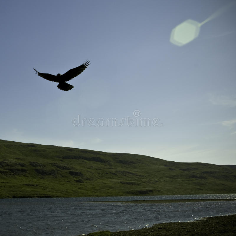 Hovering raven in an Icelandic valley. Raven hovering over its pray in an Icelandic sunny summer day royalty free stock photos