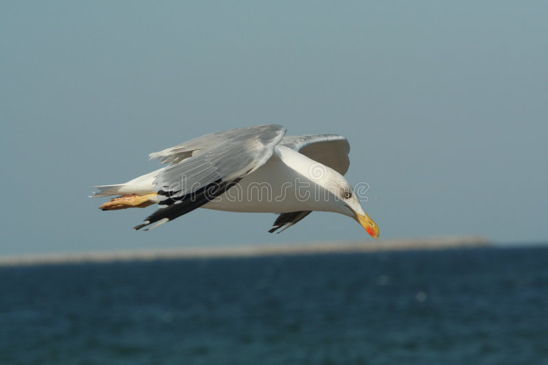 Hovering Seagull royalty free stock images