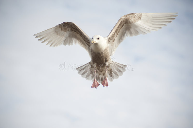 Hovering seagull. Closeup of a seagull hovering beneath wispy clouds royalty free stock photography