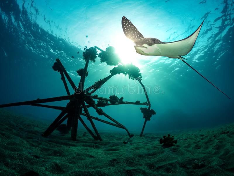 Eagle ray hovers over the sea bottom stock image