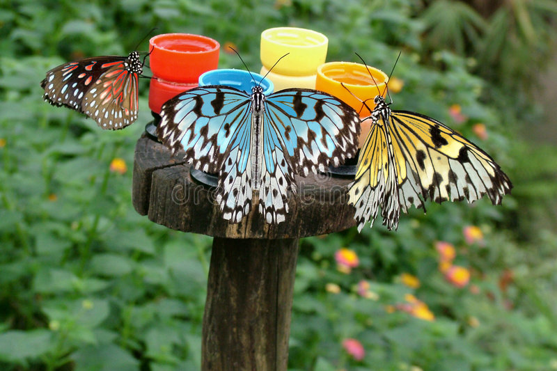 How Butterflies Really Get Their Colors stock photography