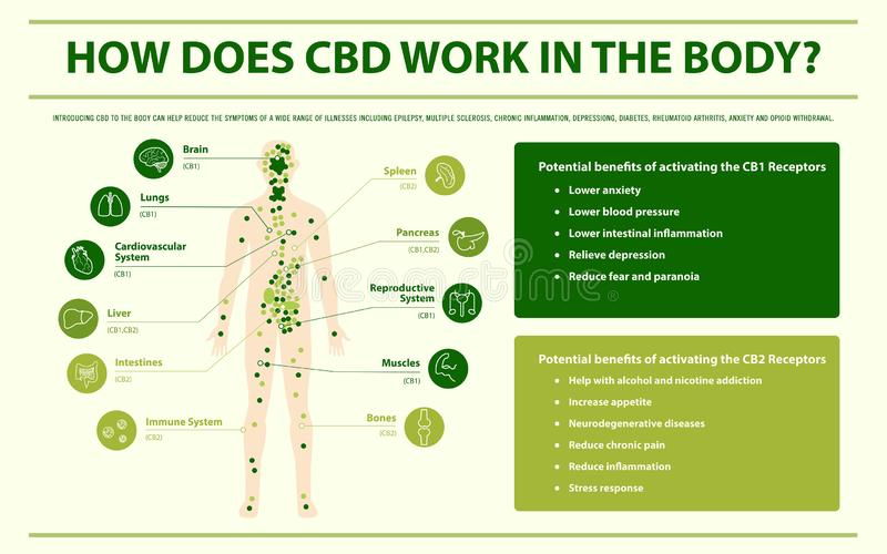 How Does CBD Work In the Body infographic. How Does CBD Work In the Body horizontal infographic illustration about cannabis as herbal alternative medicine and stock illustration
