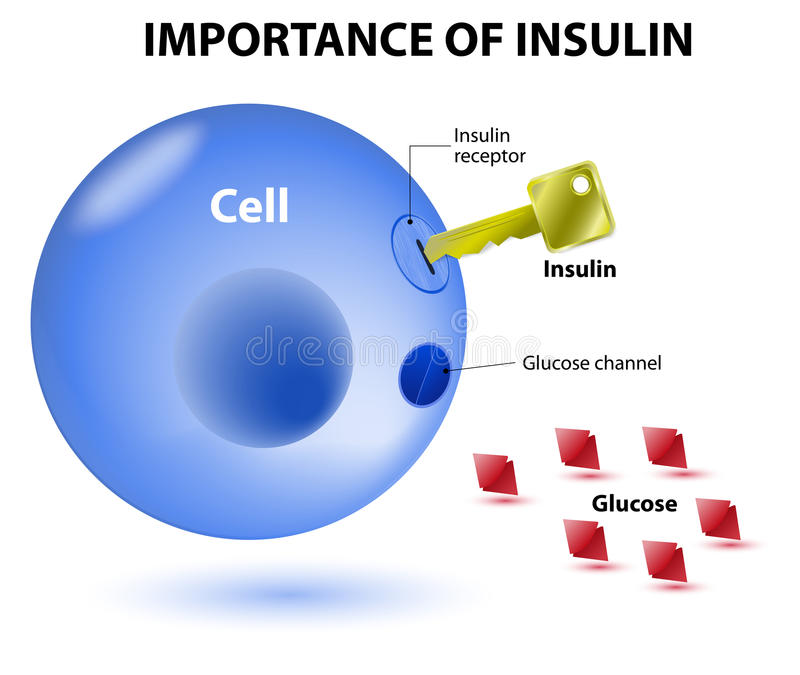 How does insulin work royalty free illustration