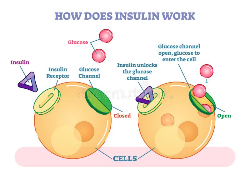 How does insulin work, illustrated vector diagram. Educational medical information. stock illustration