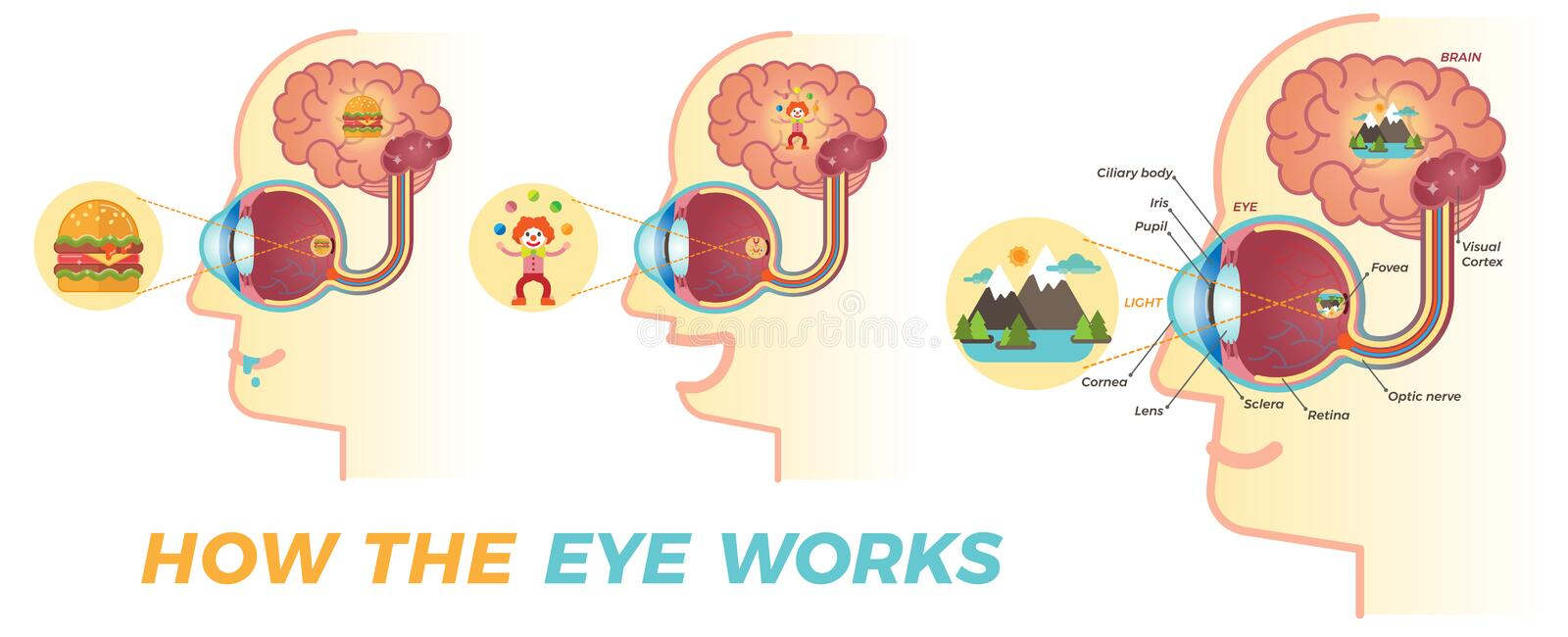 How the eye works. Basic graphic elements for building educational material about the eyes. Three different variations stock illustration