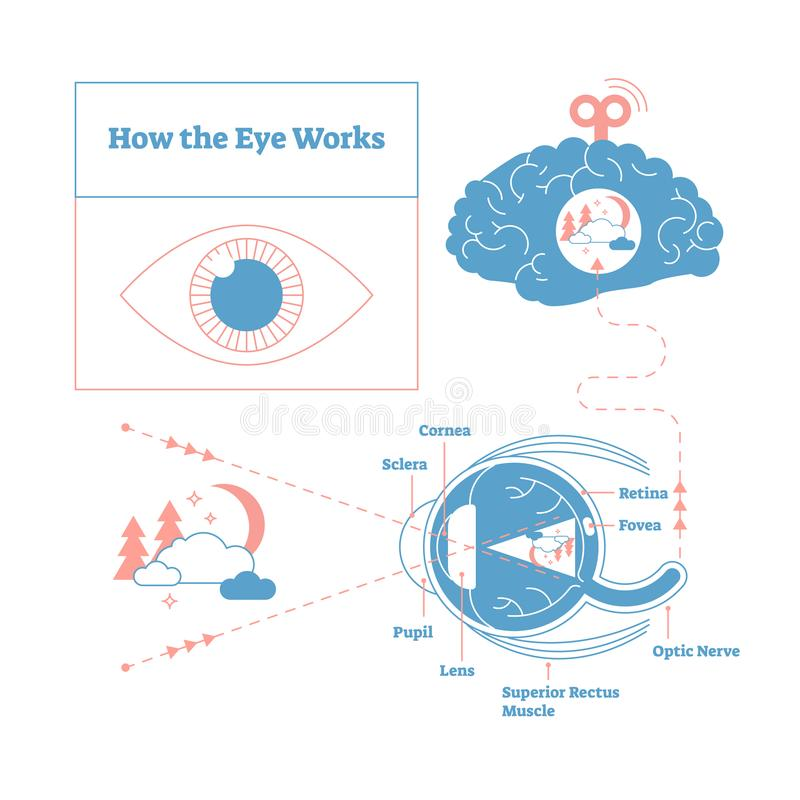 How the eye works medical scheme poster, elegant and minimal vector illustration, eye - brain labeled structure diagram. Stylized and artistic medical design vector illustration