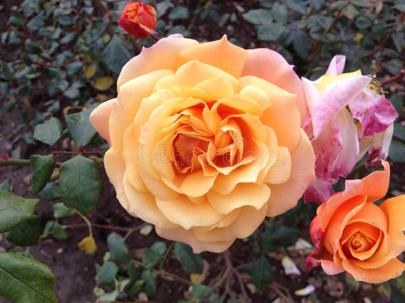 How much beauty can be in a pink orange rose? royalty free stock images