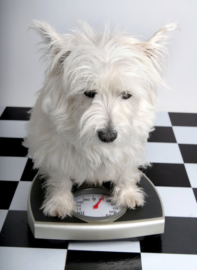 How much do I weigh? royalty free stock image