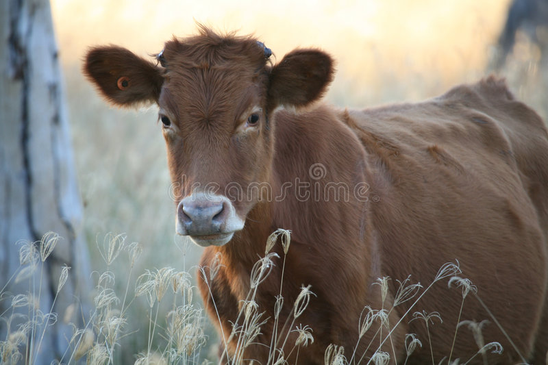 How Now Brown Cow stock photos