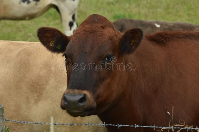 How Now Brown Cow Chewing The Cud royalty free stock images