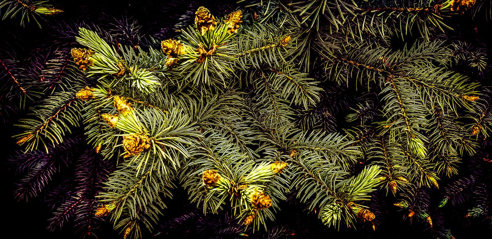 How to bloom spruce? And there is this mystery in the deep forest in late spring. stock photo