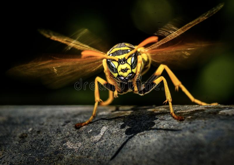 How to spot an angry wasp? royalty free stock image