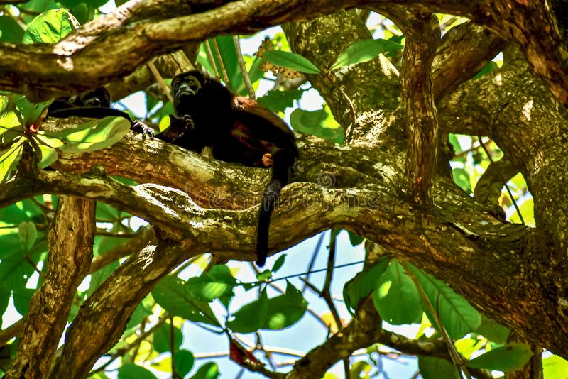 Howler-apor höga i ett träd i Gandoca Manzanillo Refuge, Costa Rica arkivbilder