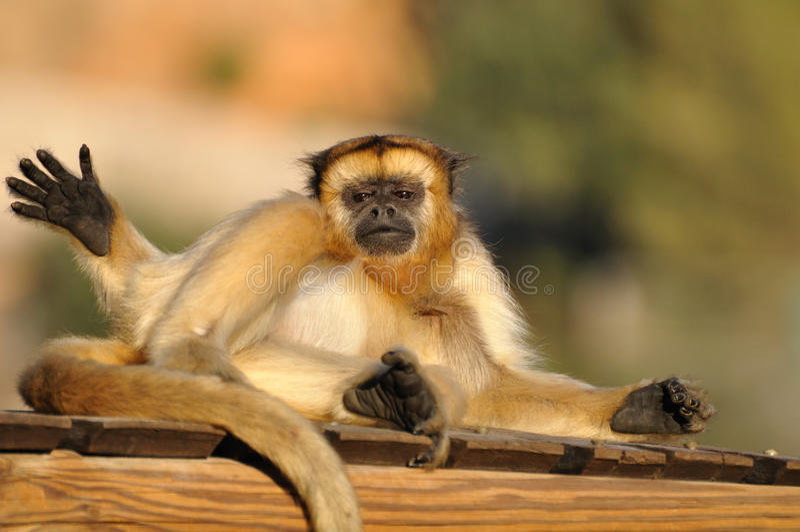 Howler monkey. stock photos