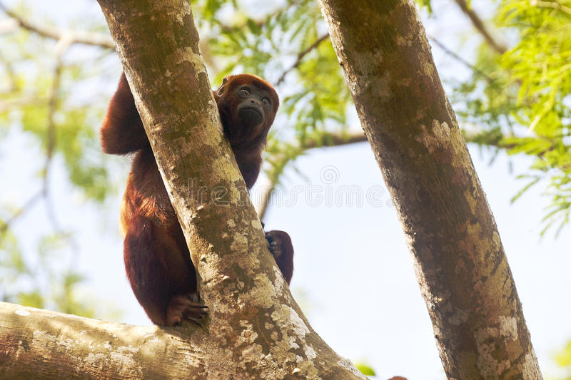 Howler monkey Alouatta Seniculus royalty free stock photography