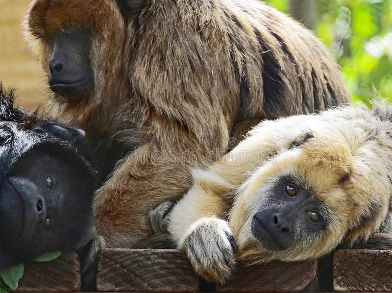 Howler Monkey. Close Up Portrait Of Sexually Dimorphic South American Howler Monkey Family royalty free stock photo