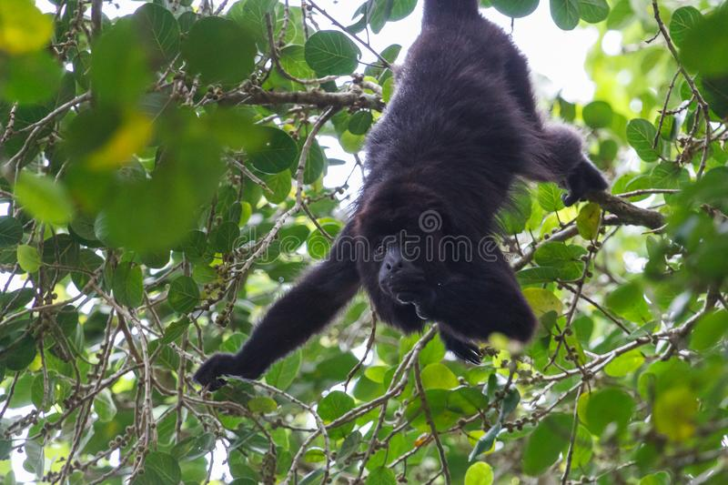 Howler monkey in the forest around Lamanai ruins royalty free stock images