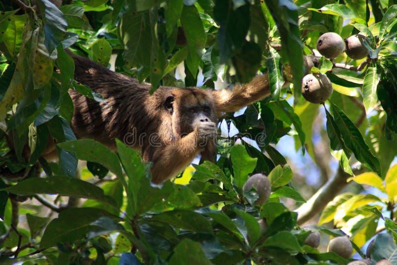 Howler monkey in pantanal, Brazil stock photo