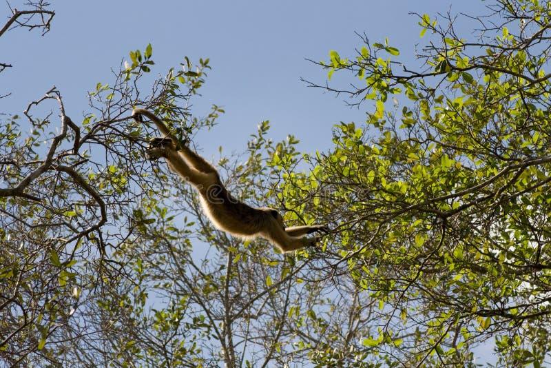 Howler monkey in pantanal, Brazil stock photos
