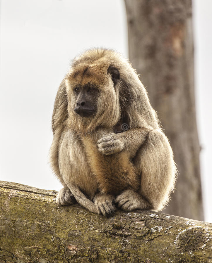Howler Monkey stock image