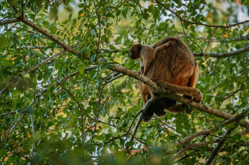 Howler monkeys really high on a giant tree in brazilian jungle. royalty free stock photos