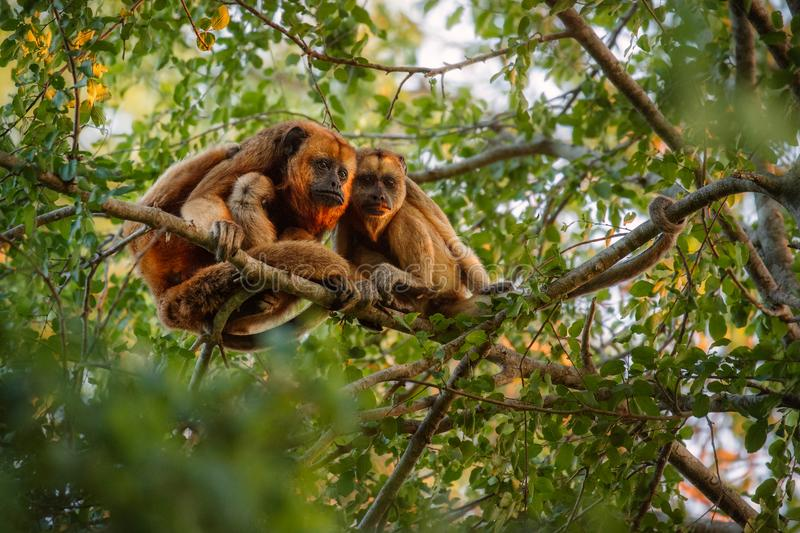 Howler monkeys really high on a giant tree in brazilian jungle. royalty free stock photography