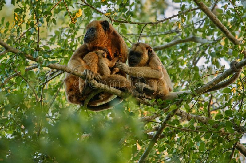 Howler monkeys really high on a giant tree in brazilian jungle. royalty free stock photo